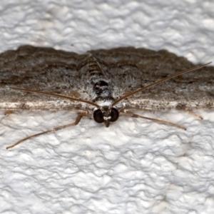 Psilosticha absorpta at Ainslie, ACT - 15 Aug 2020