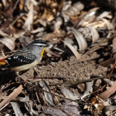 Pardalotus punctatus (Spotted Pardalote) at ANBG - 13 Aug 2020 by jbromilow50