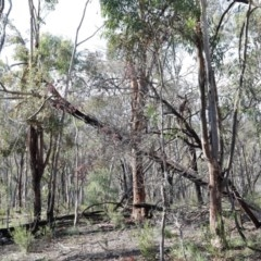 Eucalyptus macrorhyncha (Red Stringybark) at Acton, ACT - 16 Aug 2020 by ConBoekel