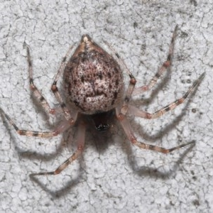 Euryopis sp. (genus) at ANBG - 14 Aug 2020