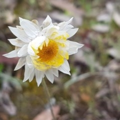 Leucochrysum albicans subsp. albicans (Hoary Sunray) at Queanbeyan West, NSW - 16 Aug 2020 by tpreston