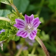 Malva neglecta (Dwarf Mallow) at Queanbeyan, NSW - 16 Aug 2020 by tpreston