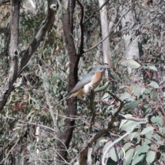 Cacomantis flabelliformis (Fan-tailed Cuckoo) at Black Mountain - 16 Aug 2020 by ConBoekel