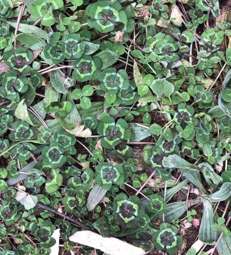 Trifolium sp. at Hughes Garran Woodland - 16 Aug 2020