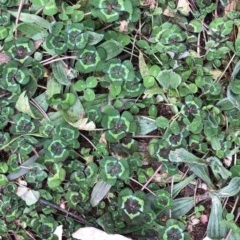 Trifolium sp. (A Clover) at Hughes Garran Woodland - 16 Aug 2020 by ruthkerruish