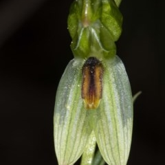 Bunochilus umbrinus (Broad-sepaled Leafy Greenhood) at Downer, ACT - 16 Aug 2020 by DerekC