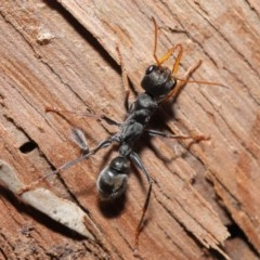 Myrmecia sp. (genus) (Bull ant or Jack Jumper) at ANBG - 14 Aug 2020 by TimL