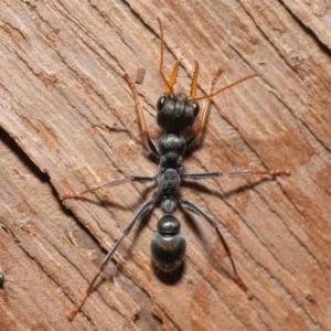 Myrmecia sp. (genus) at ANBG - 14 Aug 2020