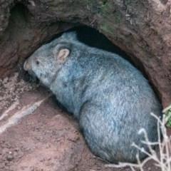 Vombatus ursinus (Wombat) at Mount Majura - 16 Aug 2020 by sbittinger