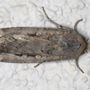 Agrotis infusa at Ainslie, ACT - 16 Aug 2020