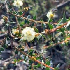 Acacia gunnii (Ploughshare Wattle) at Gossan Hill - 16 Aug 2020 by JVR