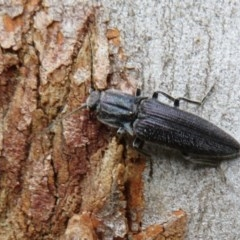 Crepidomenus fulgidus (Click beetle) at ANBG - 14 Aug 2020 by Christine
