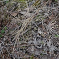 Aristida ramosa (Purple Wire Grass) at Carwoola, NSW - 16 Aug 2020 by AndyRussell