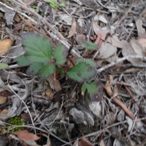 Rubus anglocandicans at Carwoola, NSW - 16 Aug 2020