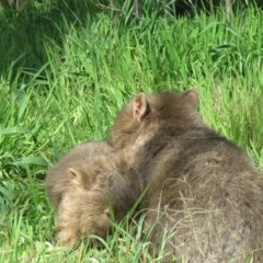 Vombatus ursinus (Wombat) at Gigerline Nature Reserve - 17 Aug 2020 by SandraH