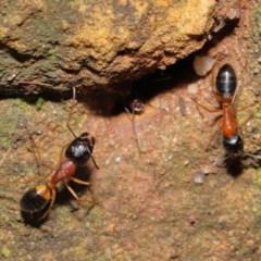Camponotus consobrinus at ANBG - 14 Aug 2020