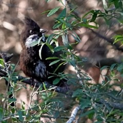 Psophodes olivaceus (Eastern Whipbird) at Brogo, NSW - 17 Aug 2020 by MaxCampbell