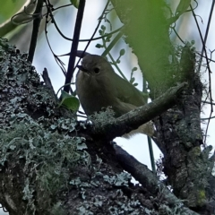 Sericornis magnirostris at Brogo, NSW - 17 Aug 2020