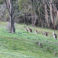 Macropus giganteus (Eastern Grey Kangaroo) at Red Light Hill Reserve - 10 Aug 2020 by PaulF