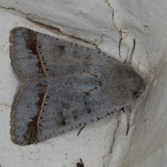 Pantydia sparsa ( A noctuid moth) at Ainslie, ACT - 17 Aug 2020 by jbromilow50