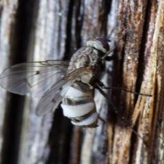 Entomophthora sp. (genus) (Puppeteer Fungus) at Mcleods Creek Res (Gundaroo) - 16 Aug 2020 by rawshorty