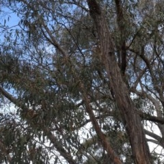 Eucalyptus macrorhyncha (A Red Stringybark) at Carwoola, NSW - 16 Aug 2020 by AndyRussell