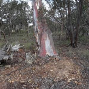 Eucalyptus mannifera at Carwoola, NSW - 16 Aug 2020