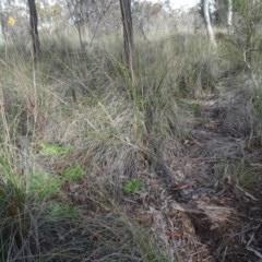 Rytidosperma pallidum (Red-anther Wallaby Grass) at Carwoola, NSW - 16 Aug 2020 by AndyRussell