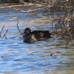 Anas superciliosa (Pacific Black Duck) at Googong Foreshore - 17 Aug 2020 by RodDeb