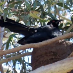 Corcorax melanorhamphos (White-winged Chough) at Googong Foreshore - 17 Aug 2020 by RodDeb