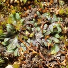 Riccia subbifurca (Liverwort) at Black Mountain - 17 Aug 2020 by RWPurdie
