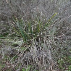 Lomandra longifolia (Spiny-headed Mat-rush / Honey Reed) at Carwoola, NSW - 16 Aug 2020 by AndyRussell