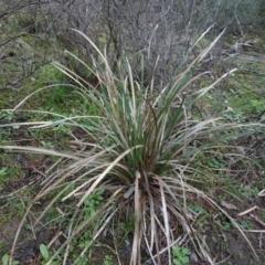 Lomandra longifolia at Carwoola, NSW - 16 Aug 2020