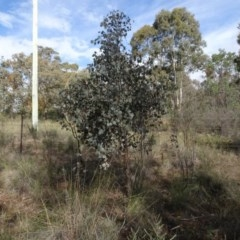 Eucalyptus polyanthemos (Red Box) at Carwoola, NSW - 16 Aug 2020 by AndyRussell