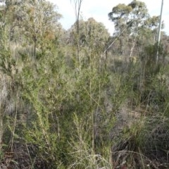 Kunzea ericoides (Burgan) at Carwoola, NSW - 16 Aug 2020 by AndyRussell