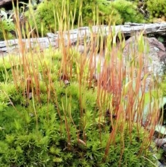Ditrichaceae at Aranda Bushland - 17 Aug 2020 by CathB