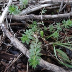 Galium aparine (Goosegrass, Cleavers) at Carwoola, NSW - 16 Aug 2020 by AndyRussell