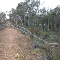 Eucalyptus rossii (Inland Scribbly Gum) at O'Connor, ACT - 18 Aug 2020 by ConBoekel