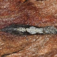 Strepsicrates macropetana (Eucalyptus Leafroller) at Majura, ACT - 17 Aug 2020 by jbromilow50