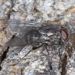Helina sp. (genus) at Mount Ainslie - 17 Aug 2020