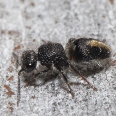 Mutillidae sp. (family) (Unidentified 'velvet ant') at ANBG - 18 Aug 2020 by TimL