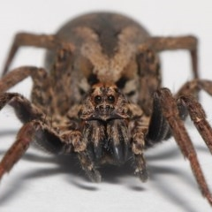 Venatrix pictiventris (Wolf spider) at Evatt, ACT - 18 Aug 2020 by TimL