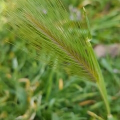 Hordeum leporinum (Barley Grass) at City Renewal Authority Area - 18 Aug 2020 by tpreston