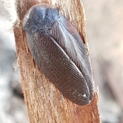 Laxta granicollis (Common trilobite cockroach, bark cockroach) at City Renewal Authority Area - 18 Aug 2020 by tpreston