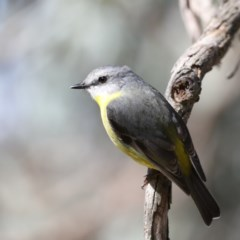 Eopsaltria australis (Eastern Yellow Robin) at ANBG - 13 Aug 2020 by jbromilow50