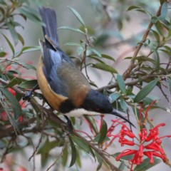 Acanthorhynchus tenuirostris (Eastern Spinebill) at ANBG - 13 Aug 2020 by jbromilow50