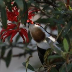 Acanthorhynchus tenuirostris at ANBG - 13 Aug 2020
