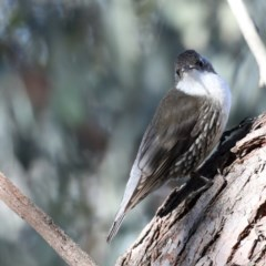 Cormobates leucophaea (White-throated Treecreeper) at ANBG - 13 Aug 2020 by jbromilow50