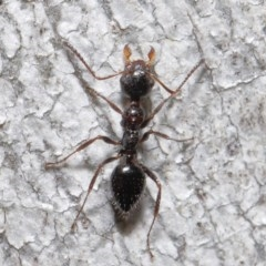Myrmecorhynchus emeryi (Possum Ant) at ANBG - 18 Aug 2020 by TimL