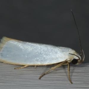 Xylorycta assimilis at Ainslie, ACT - 6 Dec 2019